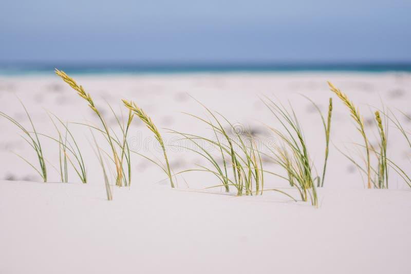 Ciérrese encima de la opinión la hierba que sopla en el viento en Noordhoek Long Beach cerca de Cape Town imagenes de archivo