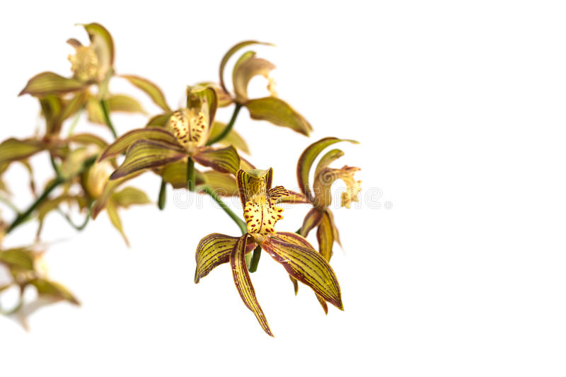 Ciérrese encima de la orquídea verde aislada en blanco fotos de archivo
