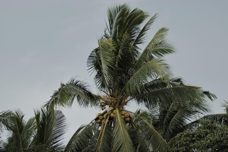 Ciérrese encima de la palmera del coco contra las nubes oscuras antes de tormenta o de huracán del poder foto de archivo libre de regalías