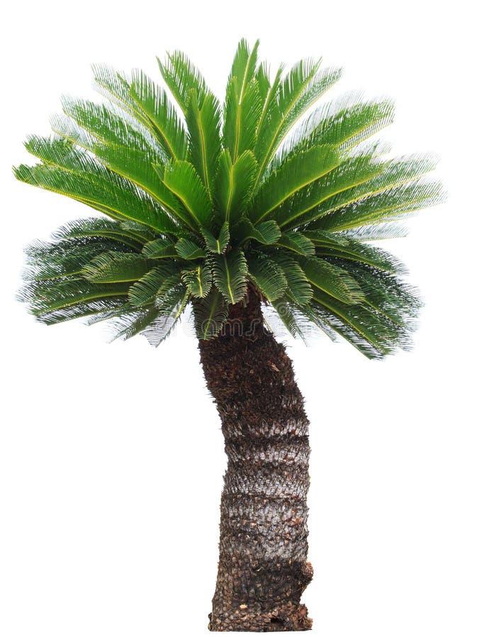 Ciérrese encima de la palmera del Cycad aislada en el lepisosteus blanco del usefor del fondo fotografía de archivo libre de regalías