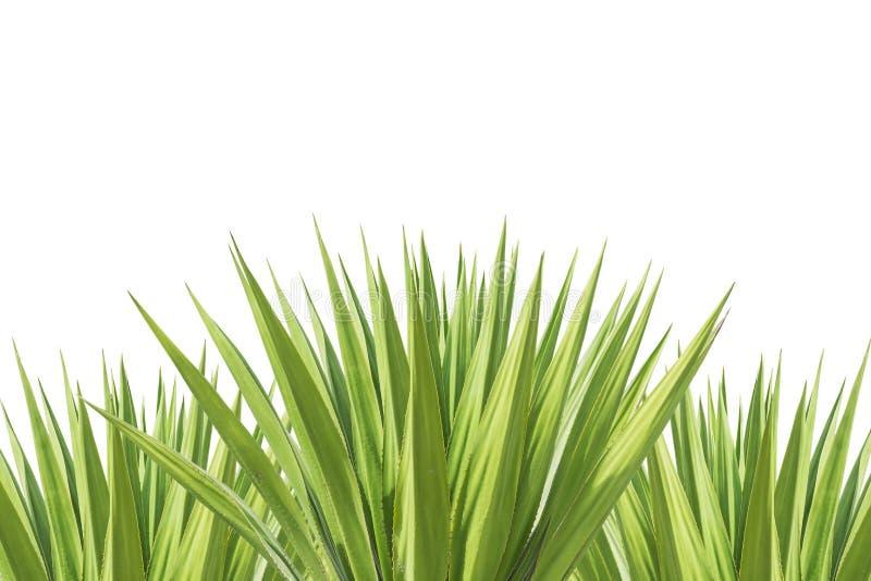 Ciérrese encima de la planta verde del agavo aislada en blanco fotografía de archivo libre de regalías