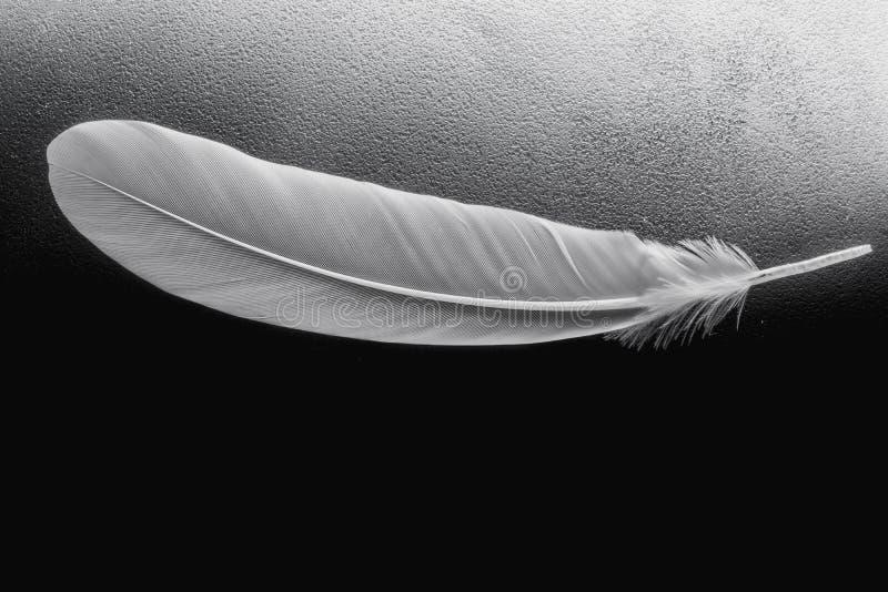 Ciérrese encima de la pluma blanca en fondo negro imágenes de archivo libres de regalías