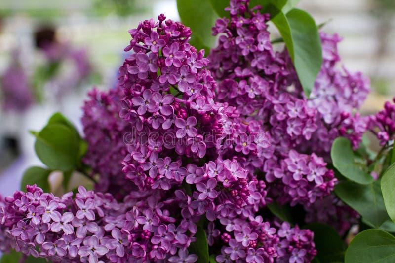 Ciérrese encima de la rama enorme de la lila en luz natural fotografía de archivo