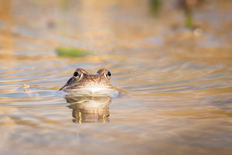 Ciérrese encima de la rana de Brown y de x28; Temporaria& x29 del Rana; imágenes de archivo libres de regalías