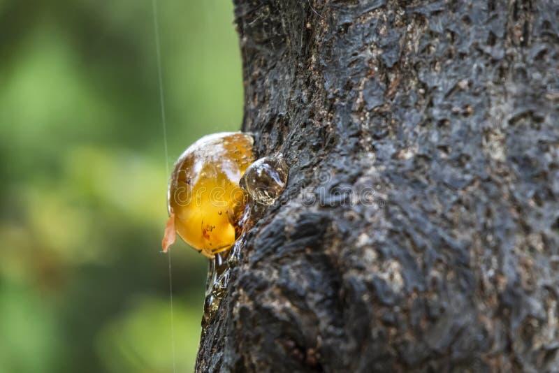 Ciérrese encima de la resina en árbol imagen de archivo