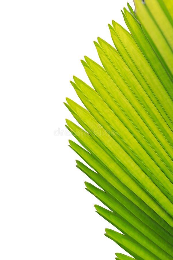 Ciérrese encima de la textura de la hoja de palma verde aislada en blanco imagen de archivo libre de regalías