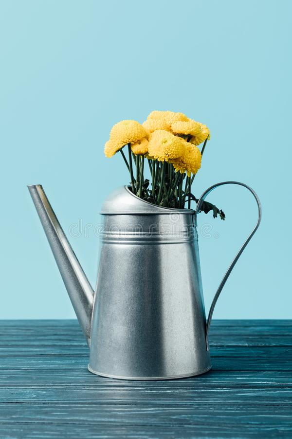 ciérrese encima de la vista de las flores amarillas hermosas del crisantemo en regadera en el tablero de la mesa de madera fotos de archivo libres de regalías