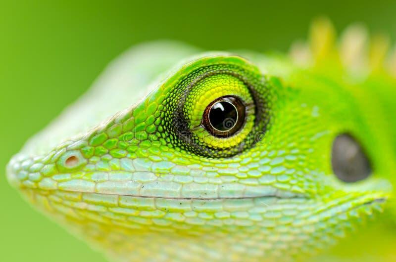 Ciérrese encima de lagarto verde fotos de archivo libres de regalías