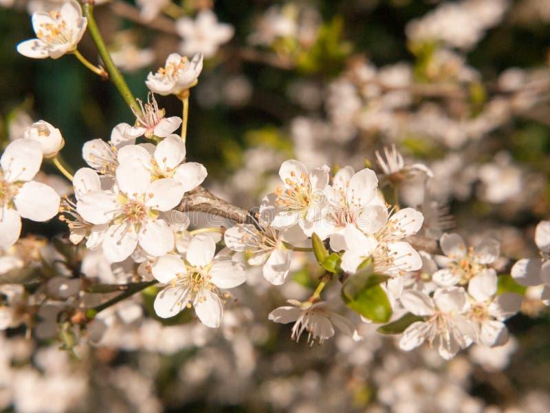 ciérrese encima de las flores blancas crecientes de los brotes del flor el la primavera del árbol imágenes de archivo libres de regalías