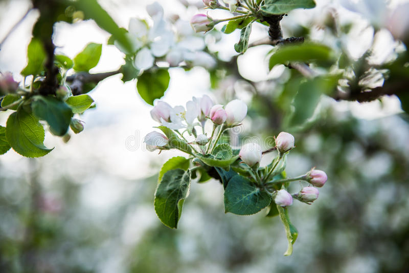 Ciérrese encima de las flores blancas del flor de la manzana fotos de archivo