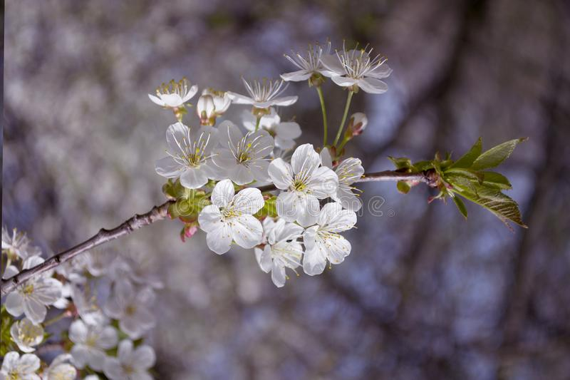 Ciérrese encima de las flores blancas del flor de la manzana y del fondo de la primavera del cielo azul foto de archivo libre de regalías