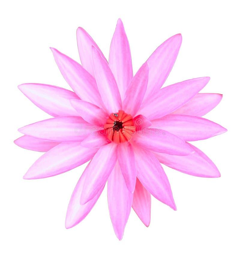 Ciérrese encima de las flores de loto rosadas aisladas en blanco imagenes de archivo