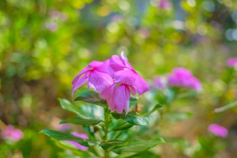 Ciérrese encima de las flores del glauca de Rosa en naturaleza hermosa fotos de archivo