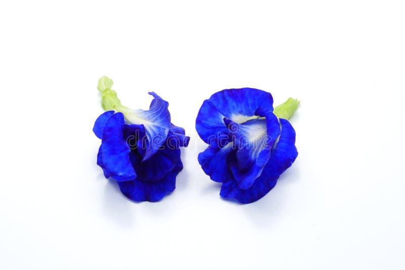 Ciérrese encima de las flores del guisante azul de la mariposa en el fondo blanco foto de archivo libre de regalías