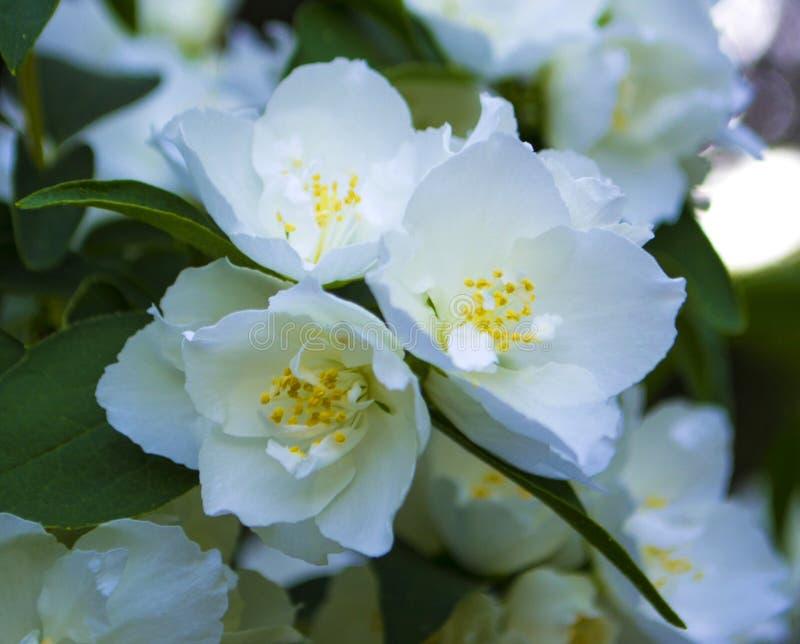 Ciérrese encima de las flores del jazmín imagen de archivo