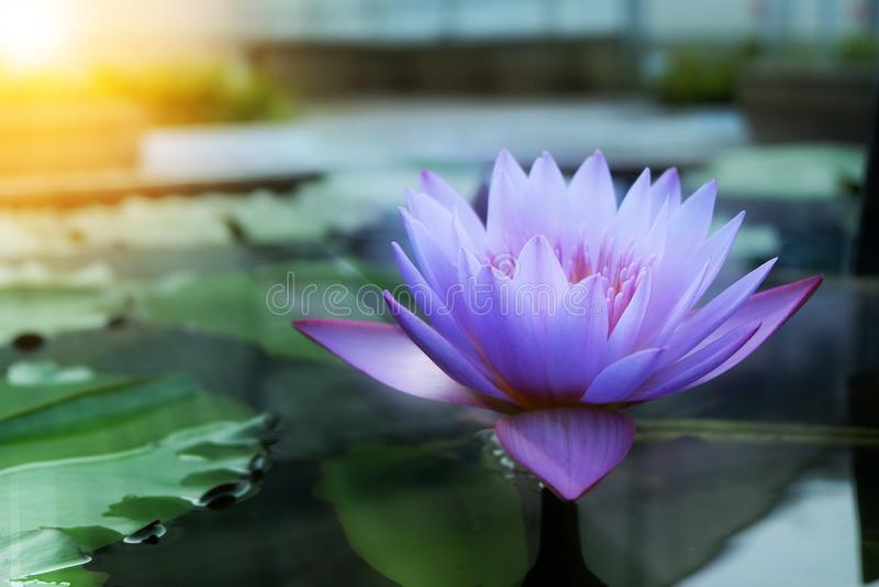 Ciérrese encima de las flores de loto fotos de archivo libres de regalías