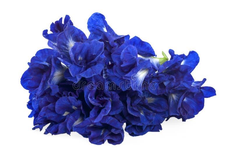 Ciérrese encima de las flores macras del guisante azul de la mariposa en el fondo blanco foto de archivo libre de regalías