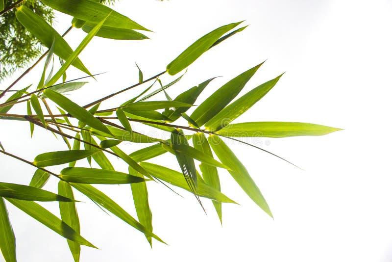 Ciérrese encima de las hojas de bambú en el fondo blanco fotos de archivo libres de regalías