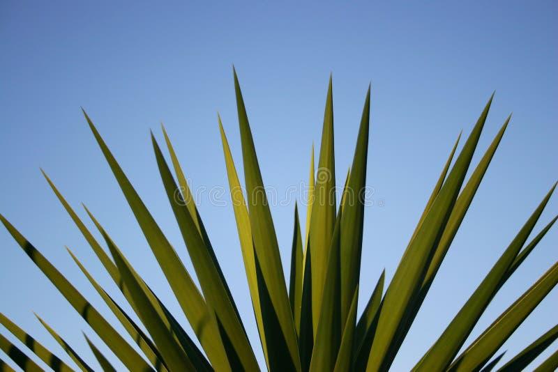 Ciérrese encima de las hojas de punta de la yuca fotografía de archivo