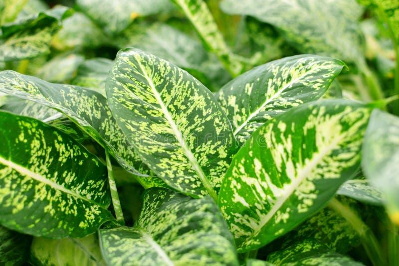 Ciérrese encima de las hojas del Dieffenbachia, fondo tropical de la planta imperecedera fotografía de archivo libre de regalías