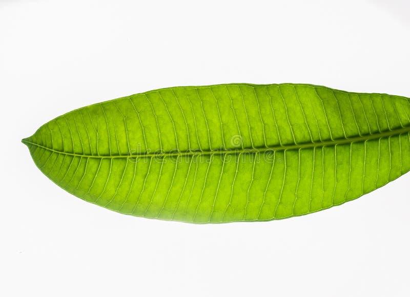 Ciérrese encima de las hojas verdes en el fondo blanco fotografía de archivo libre de regalías