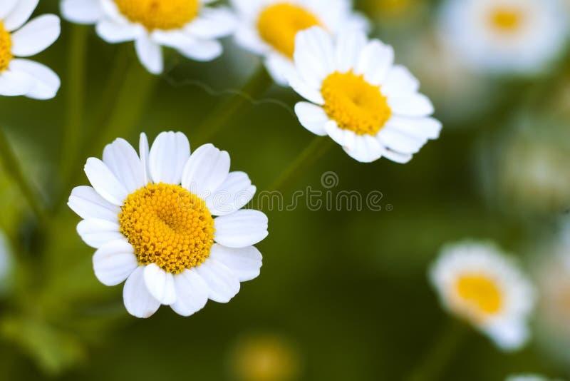 Ciérrese encima de las pequeñas flores de la margarita blanca fotos de archivo