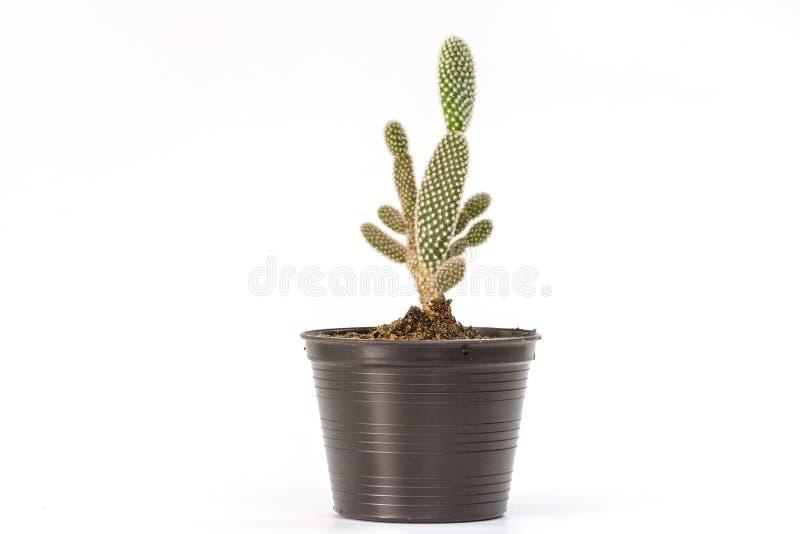 Ciérrese encima de las plantas del cactus en blanco imágenes de archivo libres de regalías