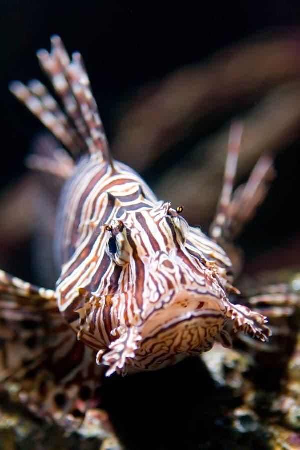 Ciérrese encima de lionfish fotografía de archivo libre de regalías