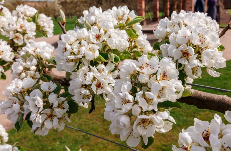 Ciérrese encima de los flores del peral fotografía de archivo libre de regalías