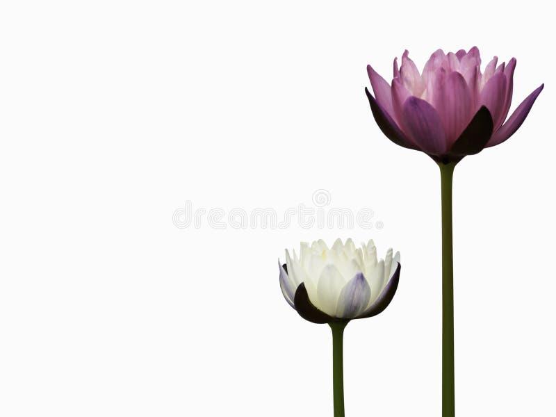 Ciérrese encima de los waterlilies o de la flor de loto blancos y rojos aislada en fondo negro foto de archivo