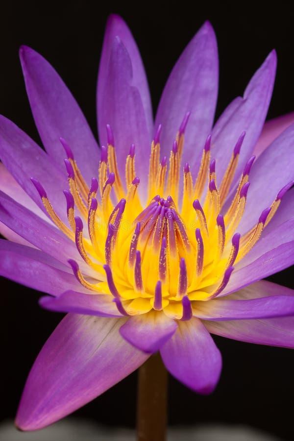 Ciérrese encima de loto violeta hermoso imagen de archivo
