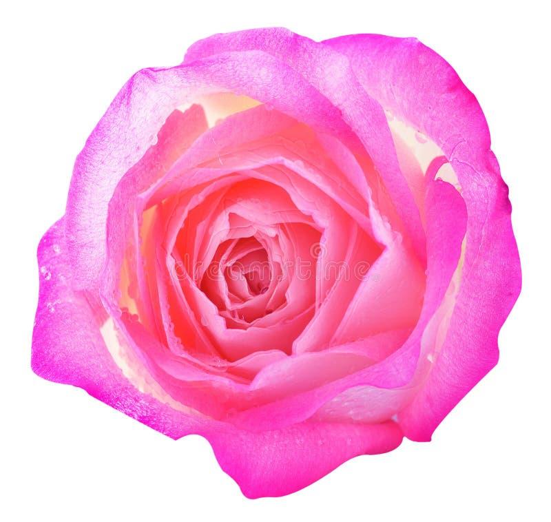 Ciérrese encima de macro de una rosa foto de archivo libre de regalías
