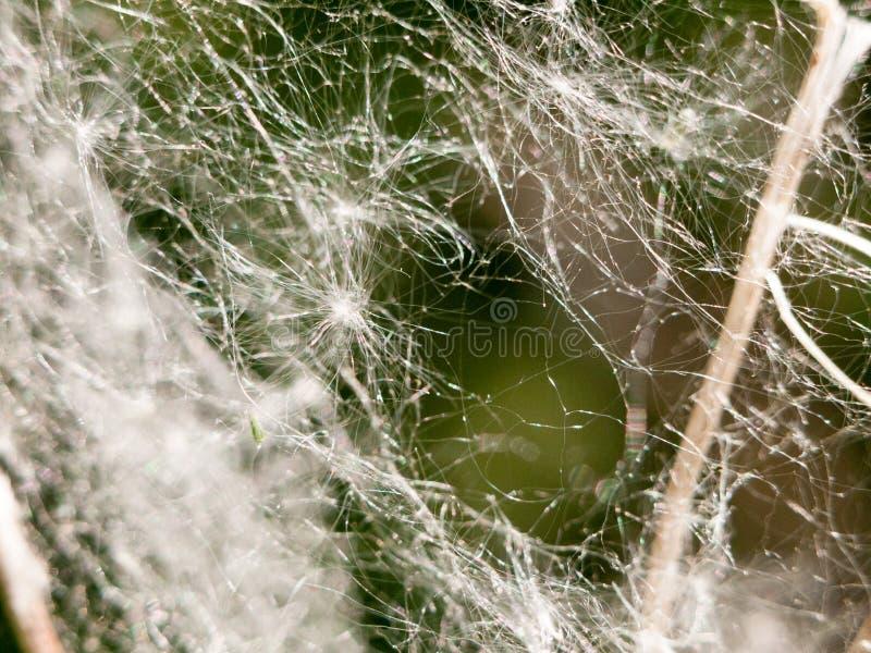 Ciérrese encima de macro del web de araña blanco del detalle con el diente de león atrapado fotografía de archivo