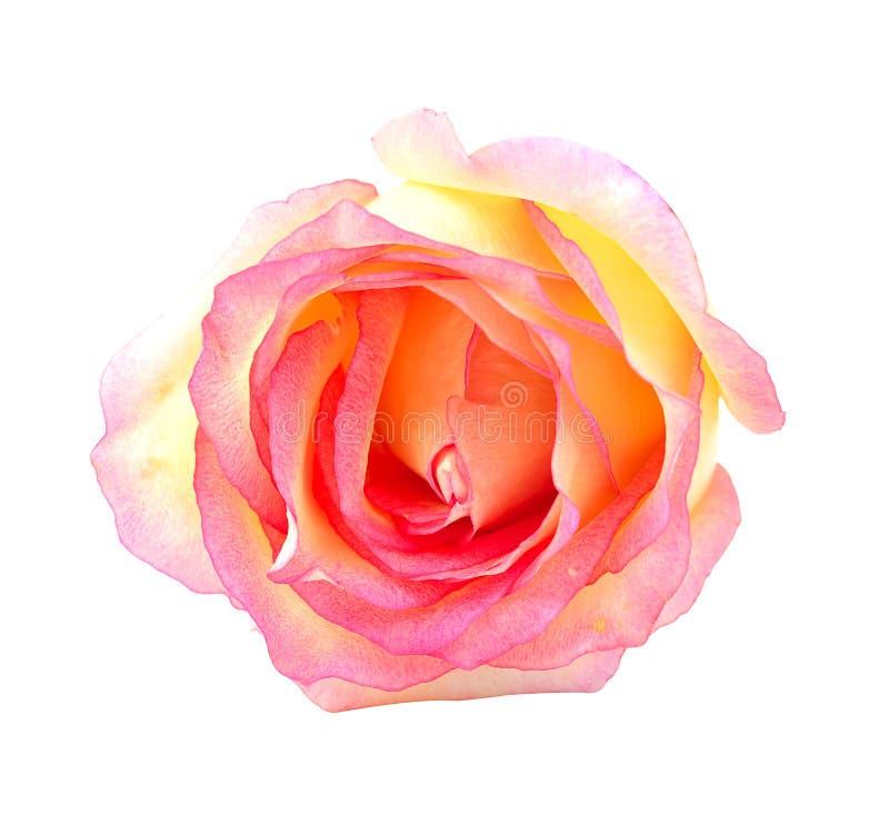 Ciérrese encima de macro de una rosa fotografía de archivo