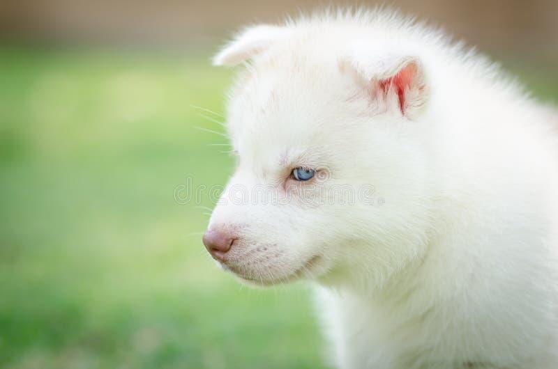 Ciérrese encima de ojos azules del perrito imagenes de archivo
