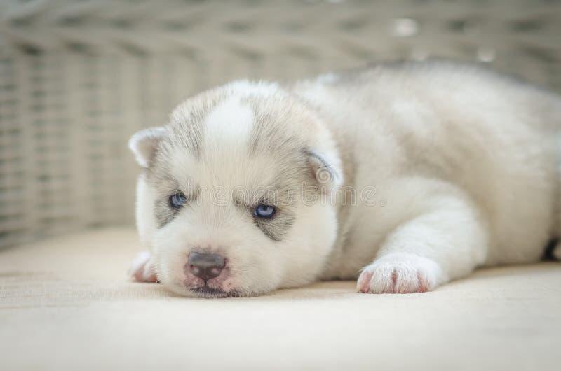 Ciérrese encima de ojos azules del perrito lindo foto de archivo libre de regalías
