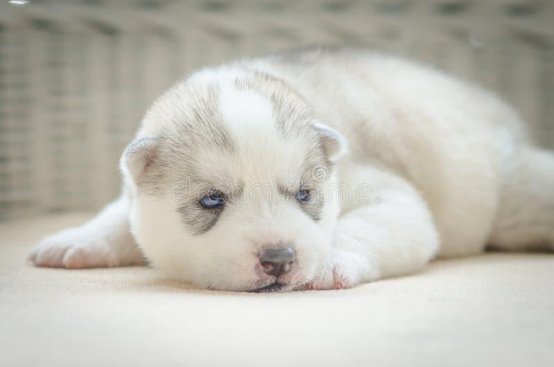 Ciérrese encima de ojos azules del perrito lindo imágenes de archivo libres de regalías