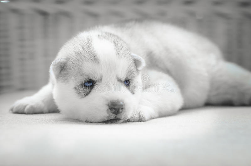 Ciérrese encima de ojos azules del perrito lindo fotografía de archivo