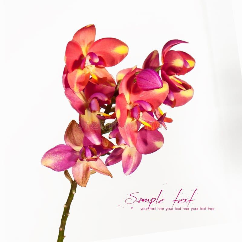 Ciérrese encima de orquídea imágenes de archivo libres de regalías