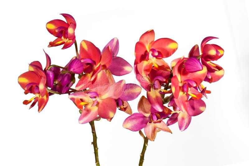Ciérrese encima de orquídea fotografía de archivo libre de regalías