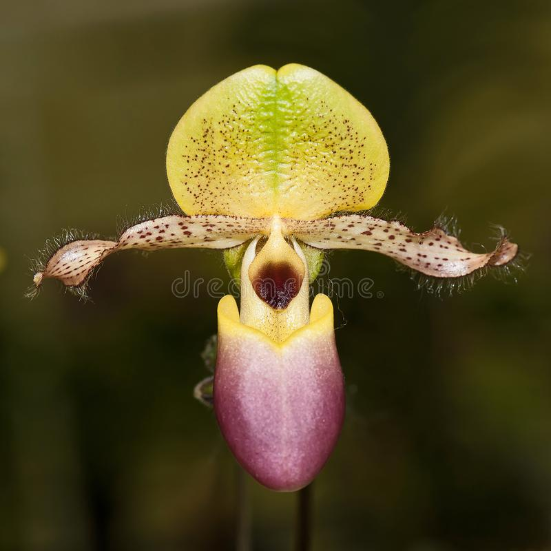 Ciérrese encima de orquídea foto de archivo