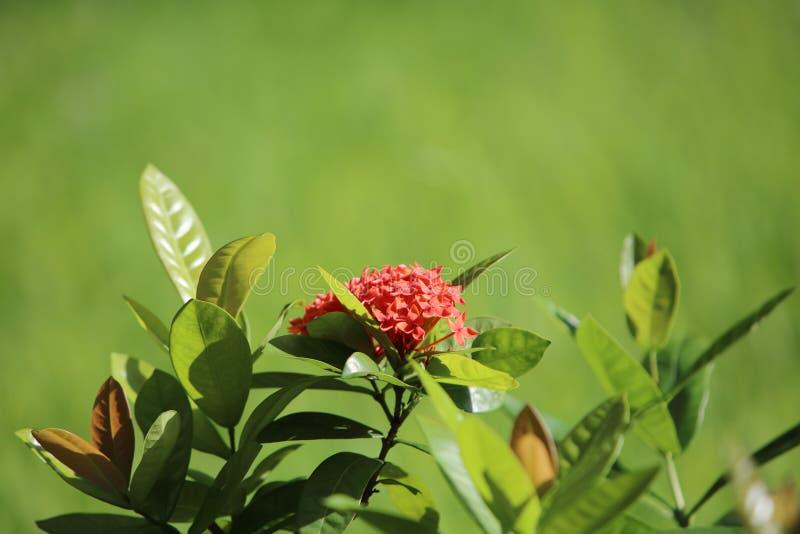 ciérrese encima de orquídea roja en el verano fotos de archivo