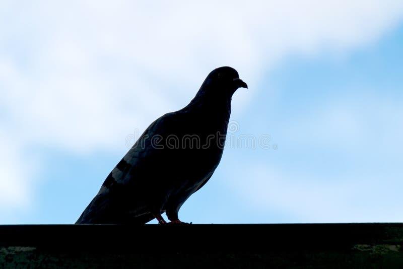 Ciérrese encima de pájaro de la paloma de la silueta en la pared y el cielo azul fotografía de archivo