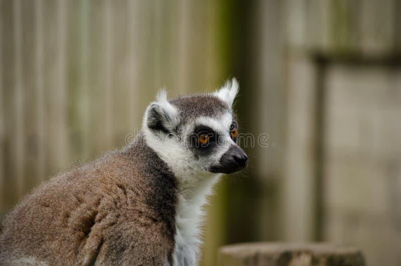 Ciérrese encima de perfil de la cara Anillo-atada del lémur horizontal imagenes de archivo