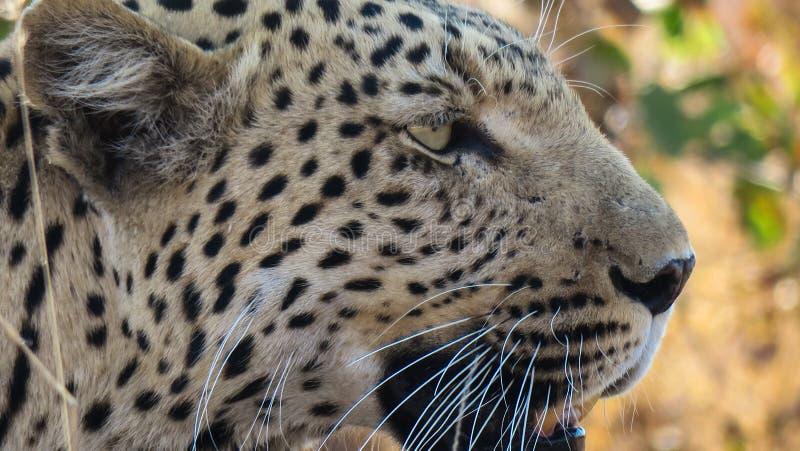 Ciérrese encima de perfil lateral del pardus africano del pardus del Panthera del leopardo imagen de archivo libre de regalías