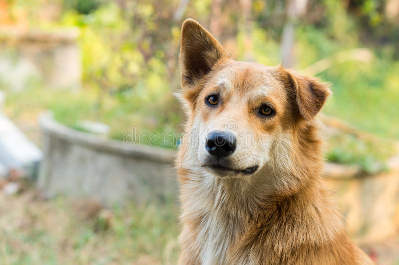 Ciérrese encima de perro tailandés imagen de archivo