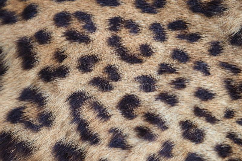 Ciérrese encima de piel amarilla del leopardo fotos de archivo libres de regalías