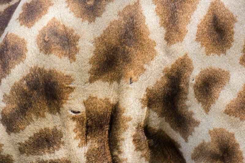 Ciérrese encima de piel de la jirafa con las cicatrices textura y fondo imagen de archivo libre de regalías