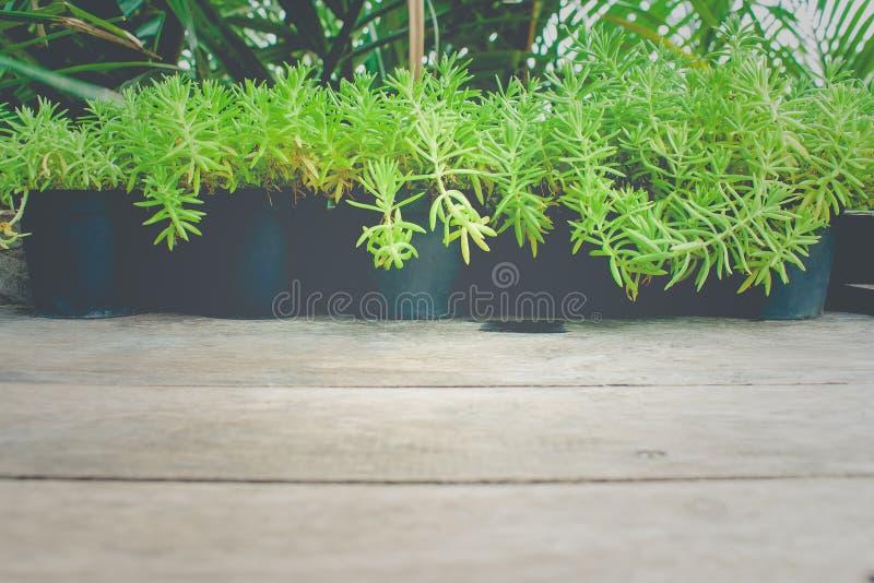 Ciérrese encima de pocos árboles verdes del brote en maceta plástica negra en la tabla de madera en el jardín imágenes de archivo libres de regalías