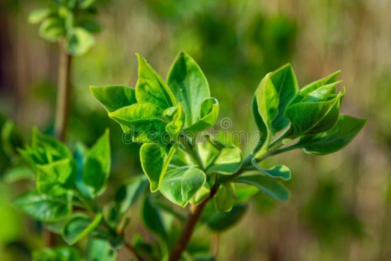 Ciérrese encima de rama del arbusto de lila con las pequeñas hojas verdes imagen de archivo libre de regalías